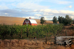 Red Barn and Orchard. A nice red barn with common white trim details. Golden wheat field in background and a fruit tree orchard, fence with wooden gate in the Stock Photo