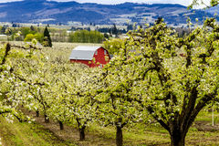 Red Barn in Oregon Pear Orchards Royalty Free Stock Photography