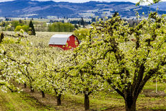 Red Barn in Oregon Pear Orchards Stock Images
