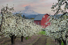 Red Barn in Pear Orchard at Hood River. Red Barn in Pear Orchard in Hood River Oregon at Sunset stock photography
