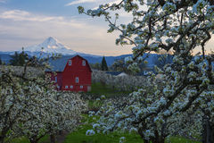Red Barn in Pear Orchards Stock Photography