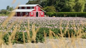 Red Barn and Potato Blossoms stock video footage