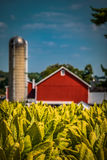 Red barn at tobacco field in Lancaster County PA Stock Photography