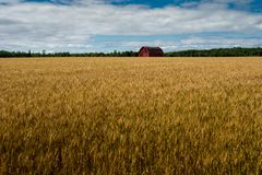 Red Barn In Wheat Field Blue Sky and Clouds royalty free stock images