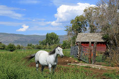 Red barn  and a white horse. Stock Images
