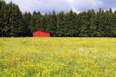 Red barn. In a yellow flower field with green forest behind Stock Photography