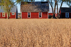 Red Barns and Golden Wheat in Rural Michigan Royalty Free Stock Image