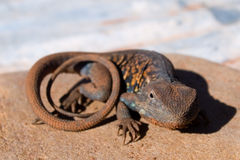 Red-Barred Dragon Royalty Free Stock Photography