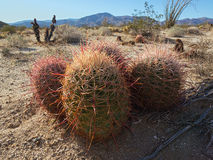 Red barrel cactus Stock Image