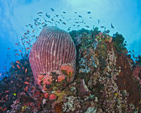 Red barrel sponge on wall reef Royalty Free Stock Photo