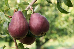 Red Bartlett pears on the tree Stock Image