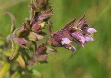 Red Bartsia Royalty Free Stock Photography