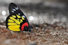 Red-base jezebel butterfly. Of thailand background Royalty Free Stock Photos
