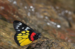 Red-base jezebel butterfly. Of thailand background Stock Photos