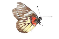 Red-base jezebell butterfly Royalty Free Stock Photos