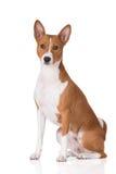 Red basenji dog posing on white Royalty Free Stock Photos