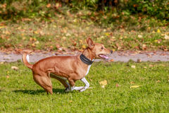 Red basenji running Royalty Free Stock Photo