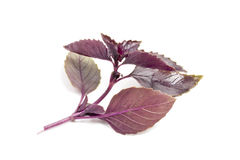 Red Basil royalty free stock photography