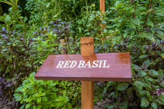 Red basil herb board  in the garden. Red basil herb board growing in the garden Royalty Free Stock Photo