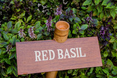 Red basil herb in the garden Stock Photos
