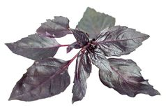 Red basil herb leaves on white background Royalty Free Stock Image