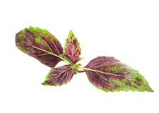 Red basil leaf Royalty Free Stock Photo