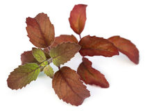 Red basil leaves Royalty Free Stock Images