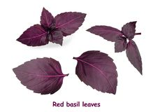 Red basil leaves isolated on white background.  royalty free stock photos