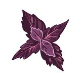 Red basil leaves realistic vector illustration. Basilicum, culinary herb. Stock Photos