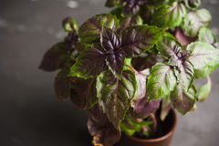 Red basil plant in pot Stock Images