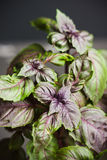 Red basil plant in pot Royalty Free Stock Photos