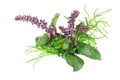 Red Basil and Santolina Stock Photography