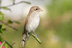 Red basked shrike  - portrait in profile. Red basked shrike posing on lily branch Stock Photography