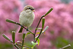 Red-basket shrike. Sitting on lily branch and take a dinner Royalty Free Stock Photo