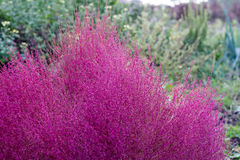 Red bassia scoparia Royalty Free Stock Photography