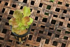 Red batavia lettuce Royalty Free Stock Image