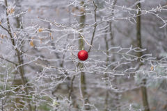 Red bauble on frozen branches Royalty Free Stock Image