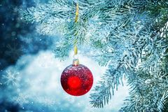 Red bauble on green christmas fir tree on royalty free stock photo