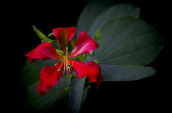 Red Bauhinia Flower Royalty Free Stock Photos