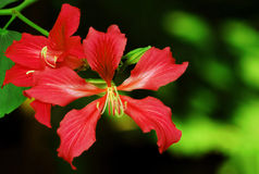 Red Bauhinia Flowers Royalty Free Stock Images