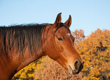 Red bay Arabian horse against trees in fall colors Royalty Free Stock Photo