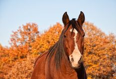 Red bay Arabian horse in evening sun against fall foliage. Looking at the viewer head on Royalty Free Stock Photography