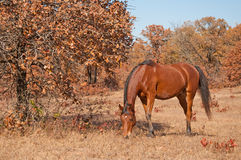 Red bay Arabian horse grazing. In a dry fall pasture on a sunny day Stock Images