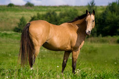 Red bay Arabian horse Stock Photography