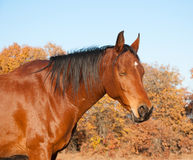 Red bay Arabian horse taking a nap in the sun. With muted color autumn tree background royalty free stock photos