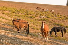 Red Bay Dun Stallion With Herd Of Wild Horses At Waterhole In The Pryor Mountains Wild Horse Range In Montana USA Royalty Free Stock Photos