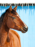 Red bay horse against bright blue barn Stock Images