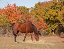 Red bay horse eating hay in pasture Stock Photo