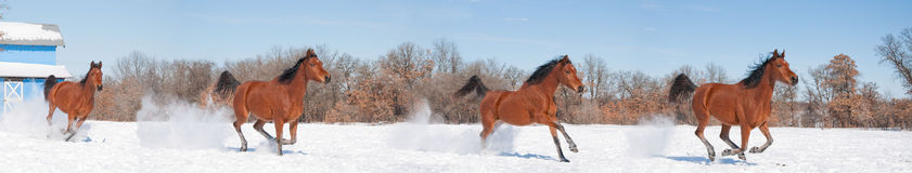 Red bay horse galloping in snow Stock Photos