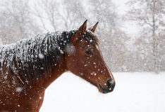 Red bay horse in heavy snow fall Royalty Free Stock Photography